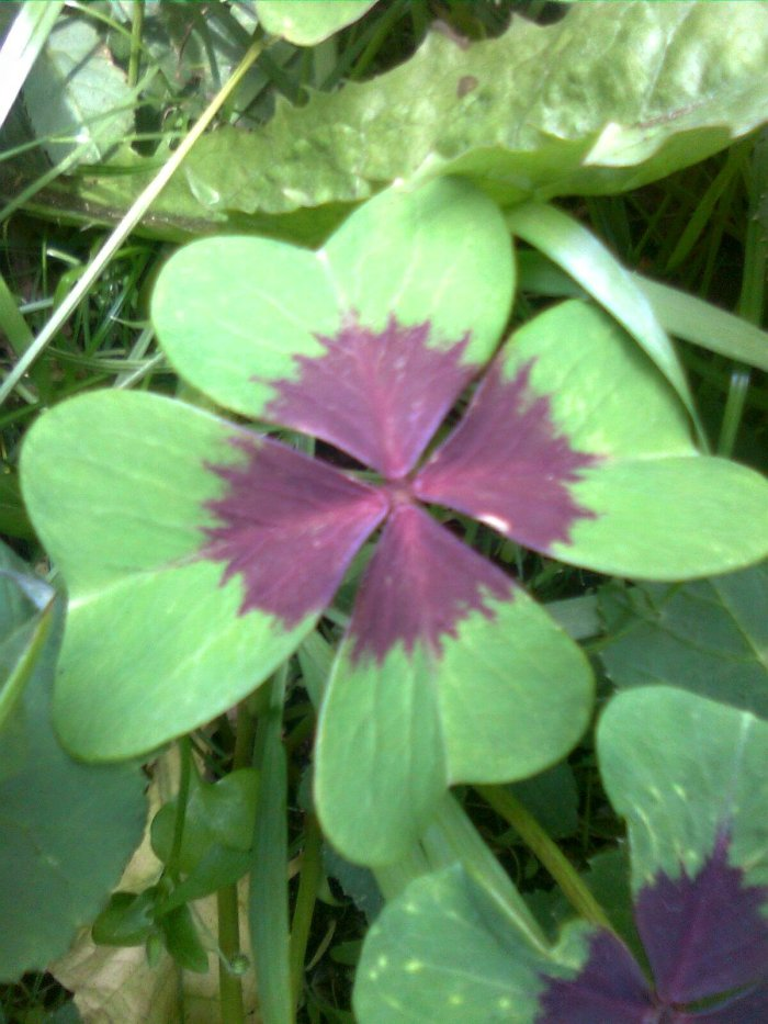 The four-leaved clover